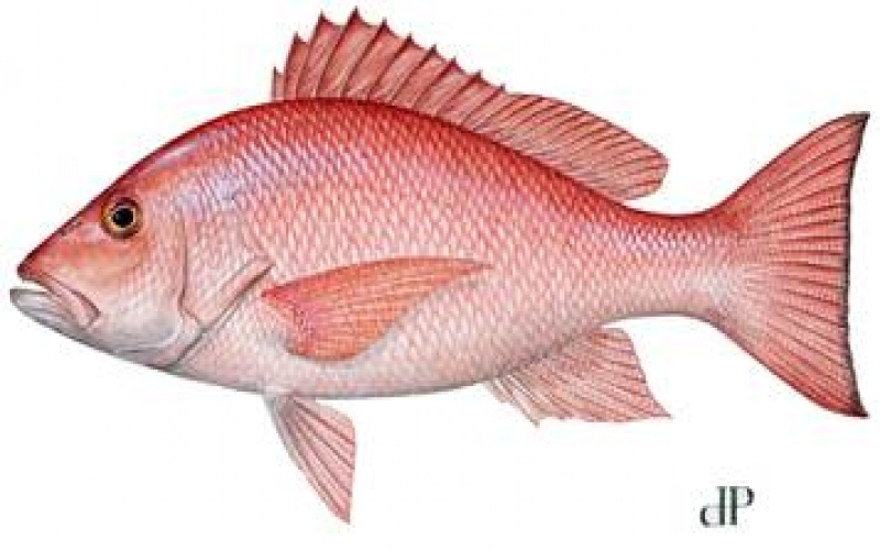 FWC approves 78-day recreational red snapper 2017 season in Gulf waters