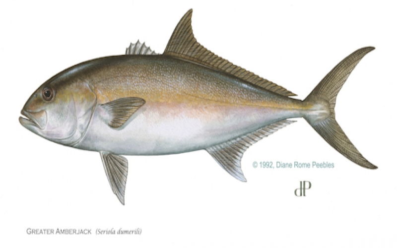 Gulf greater amberjack state waters to close April 22