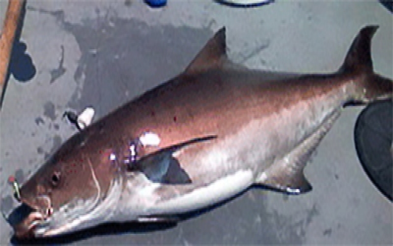 Cobia Fishing