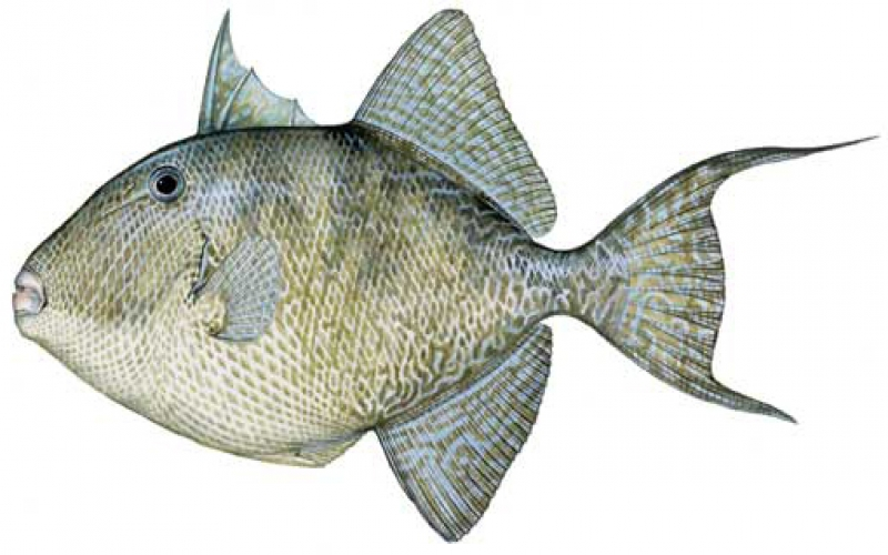 Gulf Grey Triggerfish Opens March 1st